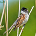 Singing In The Sunshine (Reed Bunting) by carolmw