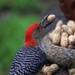 Red Bellied Woodpecker and his peanut by berelaxed