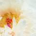 Shades of Blush by gardencat