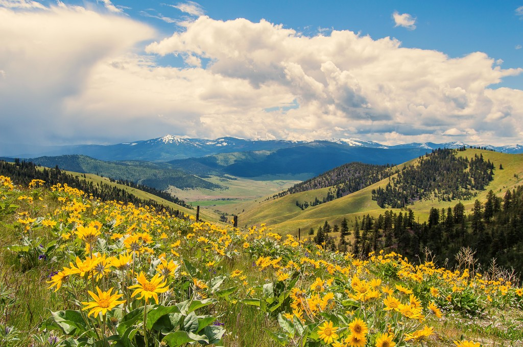 National Bison Range and Balsam Root by 365karly1