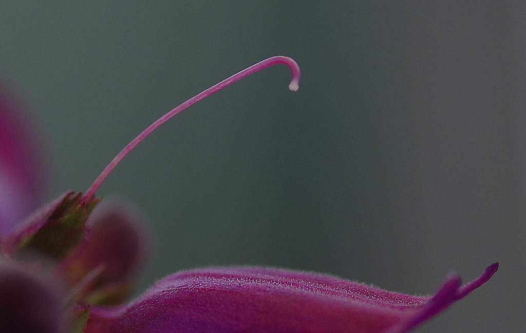 Parts of a pentstemon by maureenpp