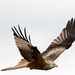 2017 05 27 - Red Kite by pixiemac