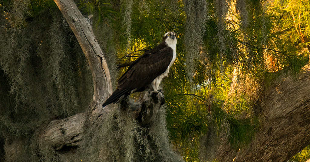 Osprey and the Sunshine! by rickster549
