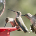 Hummers at the Feeder by gaylewood