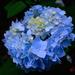 Hydrangea by congaree