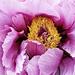 Ofuji Nishiki by gardencat