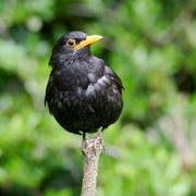 28th May 2017 - MISTER BLACKBIRD