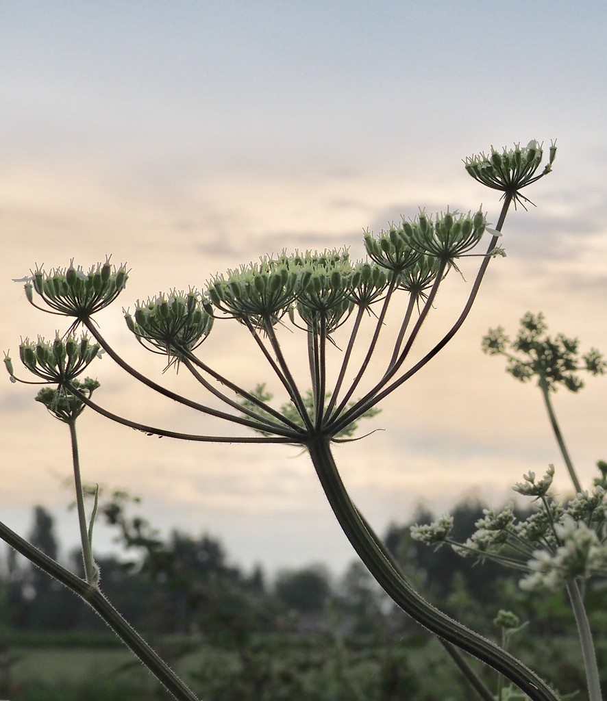 Cow Parsley by s4sayer