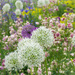 Alium, River Cottage by dorsethelen