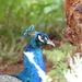 Posing peacock by alia_801