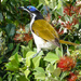 blue-faced honeyeater by hrs