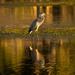 Blue Heron at Sunset!