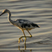 One More Little Blue Heron!