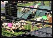 30th May 2017 - 3 month old piggies running an obstacle race at the Pumpkin fair