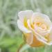 Rose  by tonygig