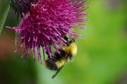 29th May 2017 - FEEDING BEE
