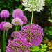 Alliums by phil_sandford