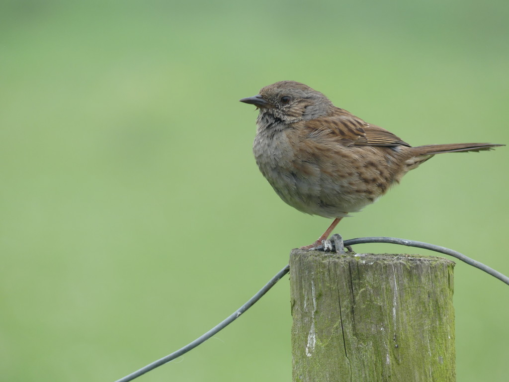 Dunnock/ Hedge Sparrow by snoopybooboo