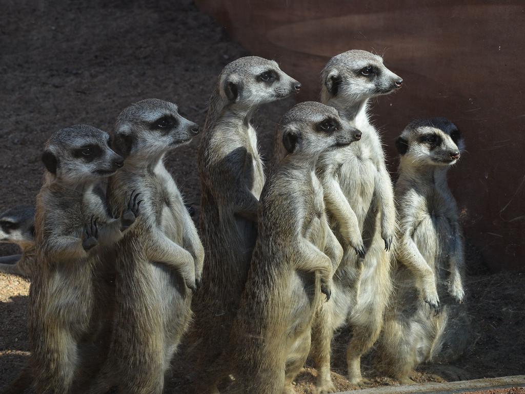 Meerkats, Dubbo Zoo by jeneurell