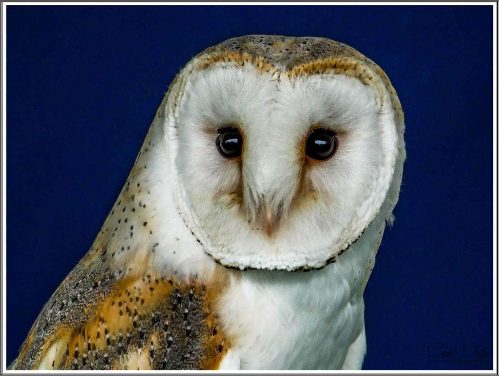 Barn Owl by carolmw