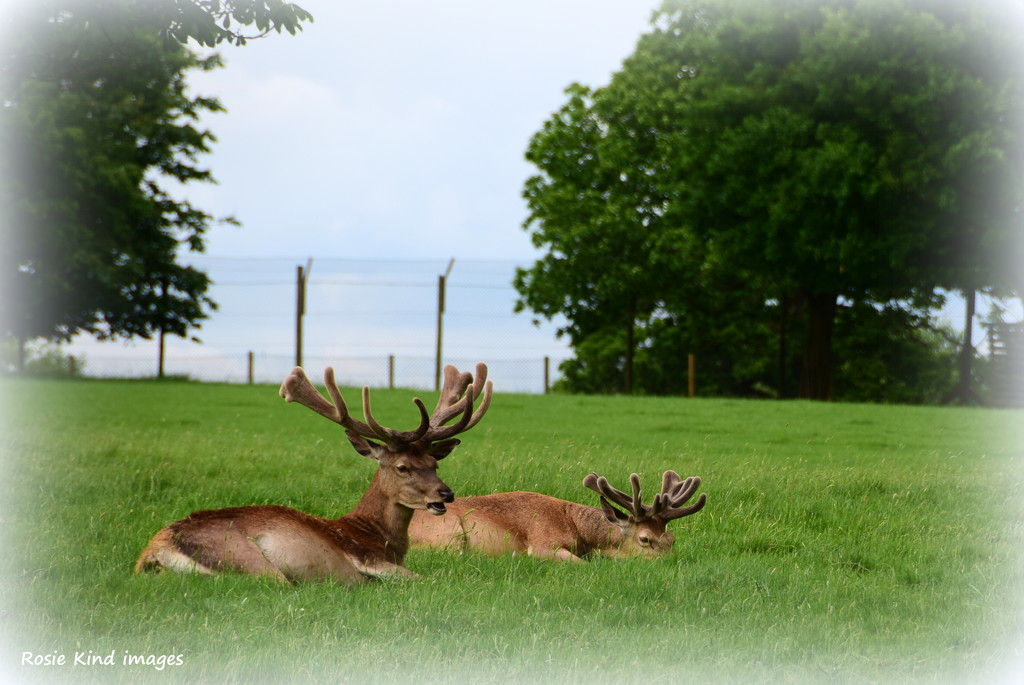 Great antlers by rosiekind