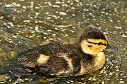 30th May 2017 - Duckling