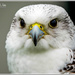 Gyr Falcon by carolmw