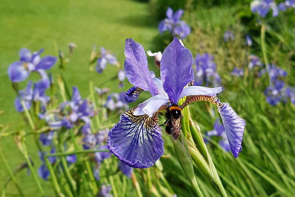Bee on Iris by kimcrisp