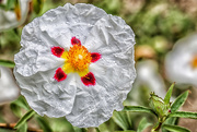 24th May 2017 - Cistus - Rock Rose