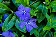1st Jun 2017 - Vinca minor