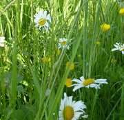 1st Jun 2017 - Buttercups and daisies....