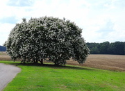 1st Jun 2017 - Crepe Myrtle tree in bloom