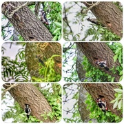 2nd Jun 2017 - Woodpeckers feeding their young
