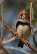 2nd Jun 2017 - Zebra Finch