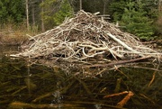 2nd Jun 2017 - Beaver Lodge