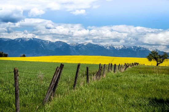 Canola Field Landscape by 365karly1