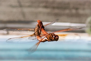 24th May 2017 - Mr. and Mrs. Flame Skimmer