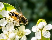 18th May 2017 - Fake Bee Alert