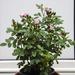 Pink rose buds...(Tina's photo)