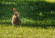 2nd Jun 2017 - Hare today, gone tomorrow