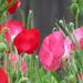 Poppy Party by seattlite