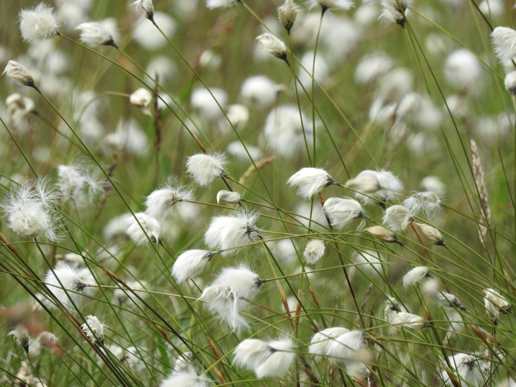 30 Days Wild - Day 3 - Cotton Grass by roachling