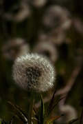 3rd Jun 2017 - Dandelions are going to Seed!