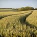 Corn Ears by fbailey