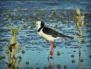 4th Jun 2017 - Pied Stilt in the Mangroves