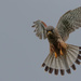 Kestrel- male out hunting by padlock