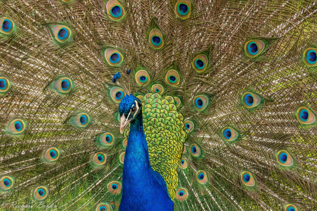Peacock Display  by rjb71