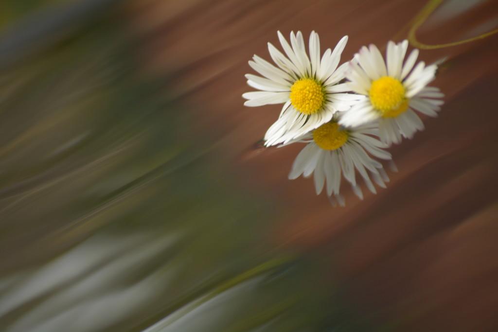 Daisy reflections..... by ziggy77