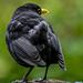 Billy The Blackbird. by tonygig