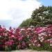 Dianthus  by pyrrhula
